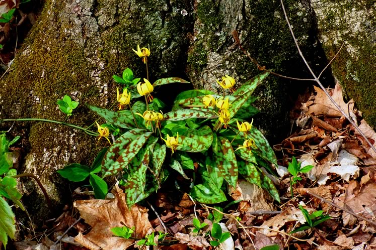 Trout lilies, May 2. Photo by Don Scallen.