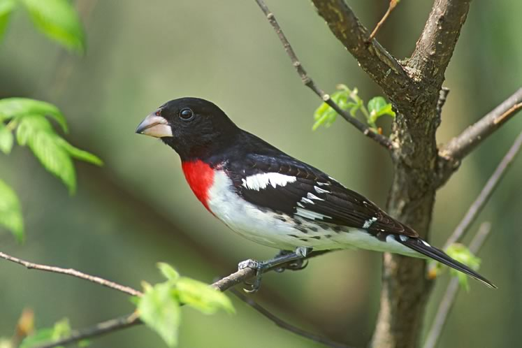 Rose-breasted grosbeak, May 16. Photo by Robert McCaw.