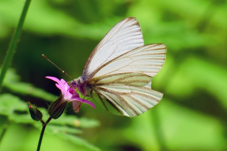 Mustard white butterfly, June 12. Photo by Don Scallen.