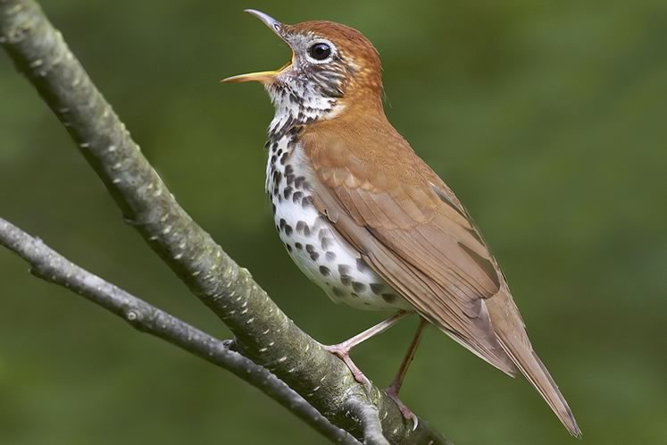 Wood thrush, June 20. Photo by Robert McCaw.