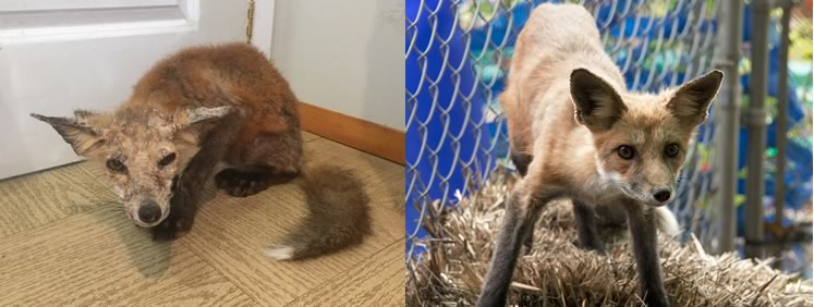 "Sox the fox arrived at Procyon Wildlife Centre sick and emaciated with mange. After six weeks of care, he was released sleek and healthy back to the wild. ""These are the moments we strive for,"" said Procyon director Sarah Bruce. Photo by Veronica Phillips."