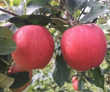Dixie Orchards