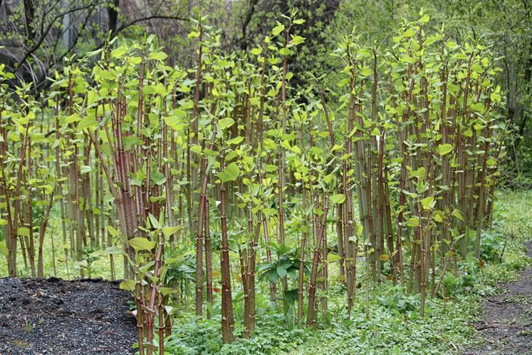 Japanese knotweed grows from nothing to several feet tall in a matter of a few spring weeks. Photo by Anneli Salo | Wikimedia Commons.
