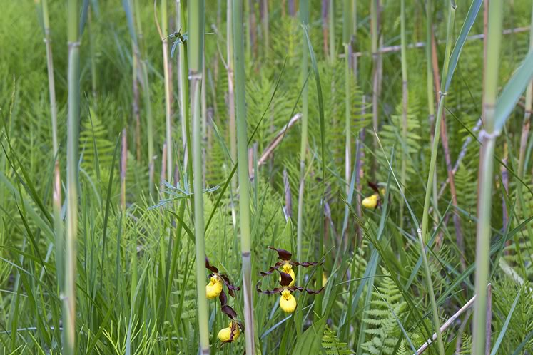 Phragmites forms a dense thicket in wetlands and chokes out more fragile natives such as yellow lady's slipper. Photo by Robert McCaw.