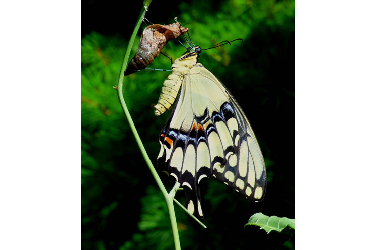 giant swallowtail shortly after emergence from chrysalis