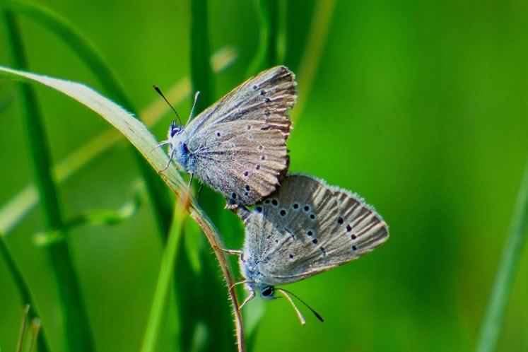 silvery blues mating
