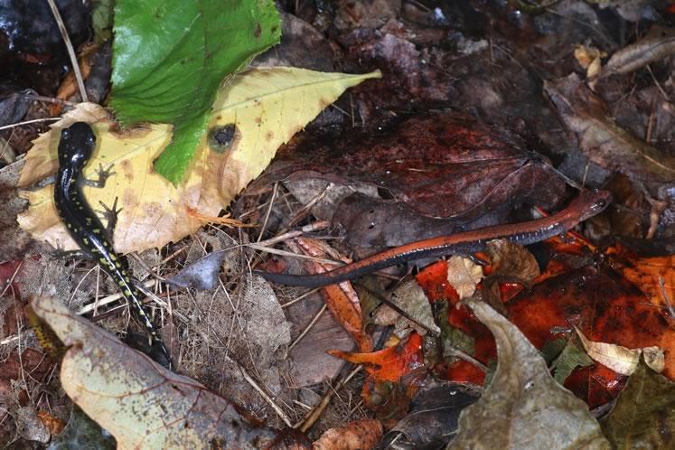 juvenile spotted salamander and red-backed salamander