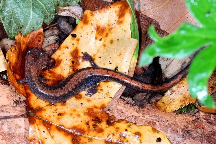 red-backed salamander