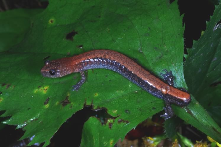 tailless red-backed salamander