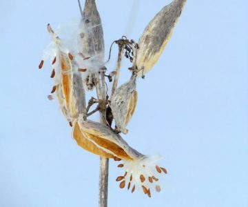 Common milkweed seeds.