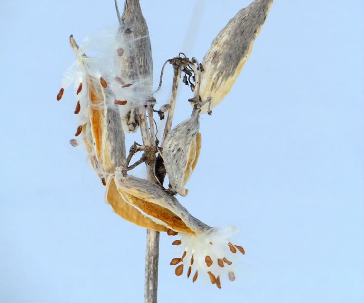 common milkweed seedsFeatured