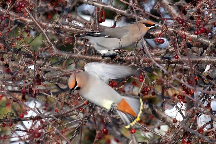 Bohemian waxwings on crab apple near Luther Marsh