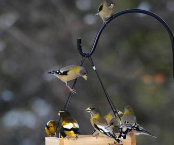 Evening grosbeaks feeding on sunflower seeds northeast of Shelburne