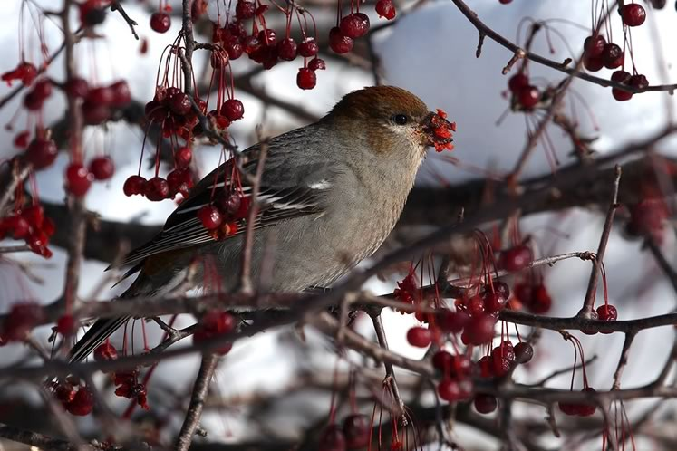 Pine grosbeak feeding on crab apples near Luther Marsh