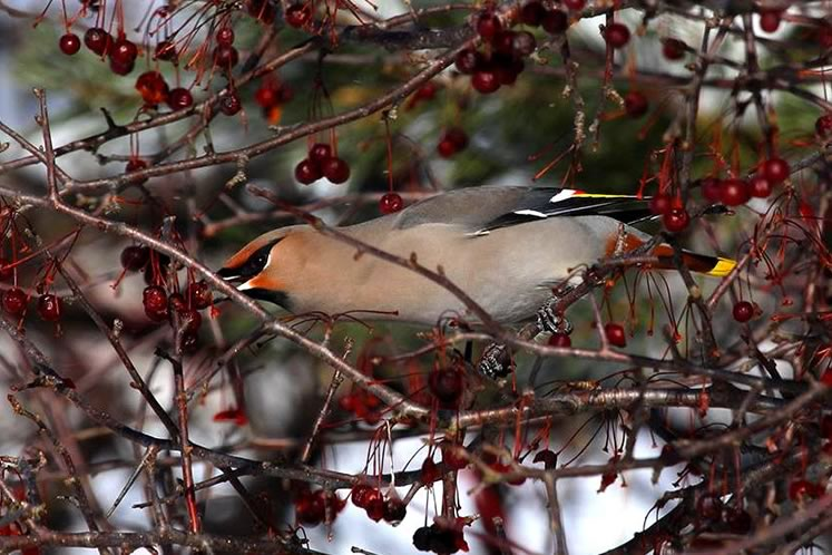 bohemian waxwing feeding on crab apples