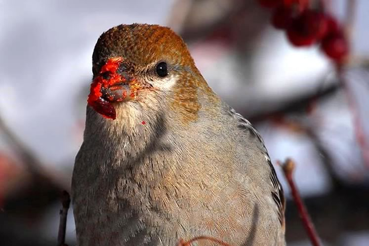 pine grosbeak messy eater