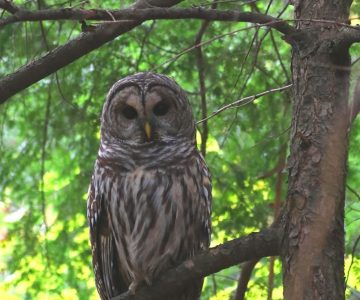 Barred owl streamside in a hemlock. Photo by Don Scallen.