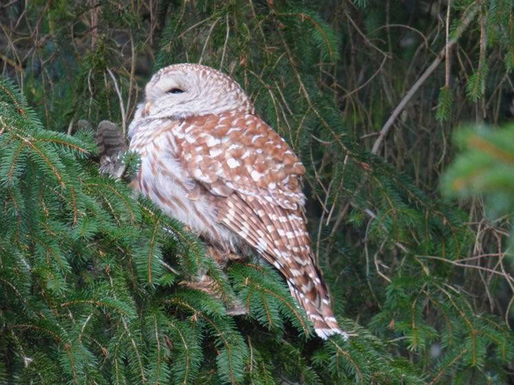 Barred owl with a ruffed grouse (just barely visible). Photo by Don Scallen.