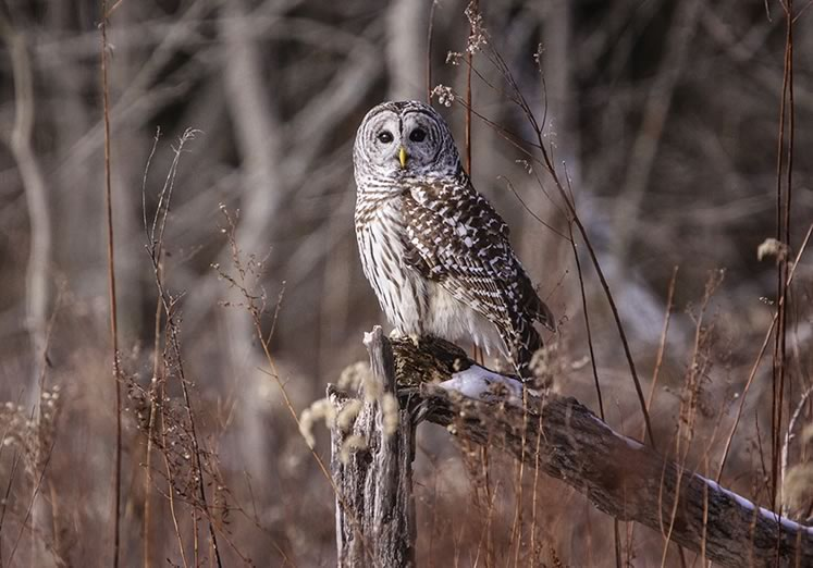 Barred owl. Photo by Gary Hall.