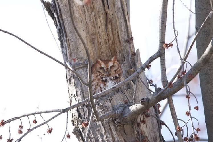 Screech owl red phase Ian Jarvie