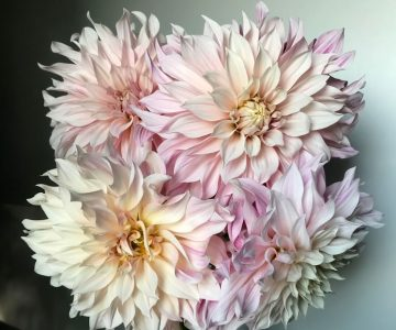 An array of 'Café au Lait' dahlias. In summer, Amanda covers their buds with organza gift bags to ward off earwigs. Photo Courtesy Broadside Flowers.