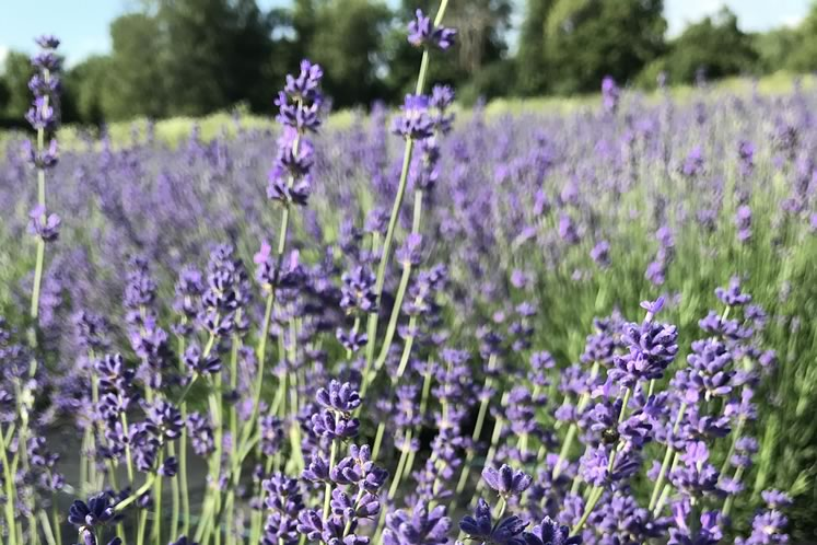 Lee Anne's lavender field rolls out to the north of her 1872 Erin stone house. Photo courtesy Stonewell Farm.