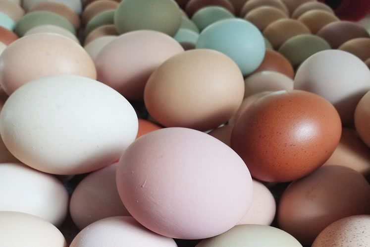 Blue eggs from Twisted Cedars Farms in Mono. Photo by Mandy Resendes.
