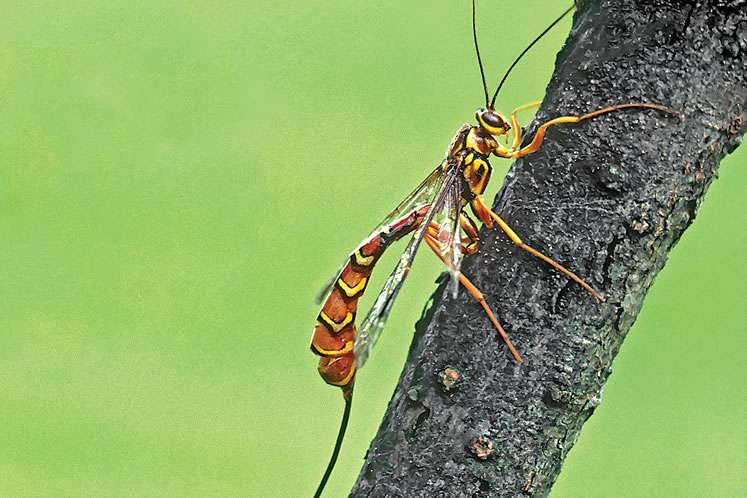 Female giant ichneumon wasps are able to lay eggs under bark with zinc- and manganese-tipped ovipositors. Photo by Robert McCaw.
