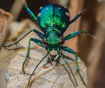 A six-spotted tiger beetle. Photo by Robert Noble.