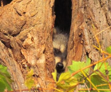 racoon in tree cavities