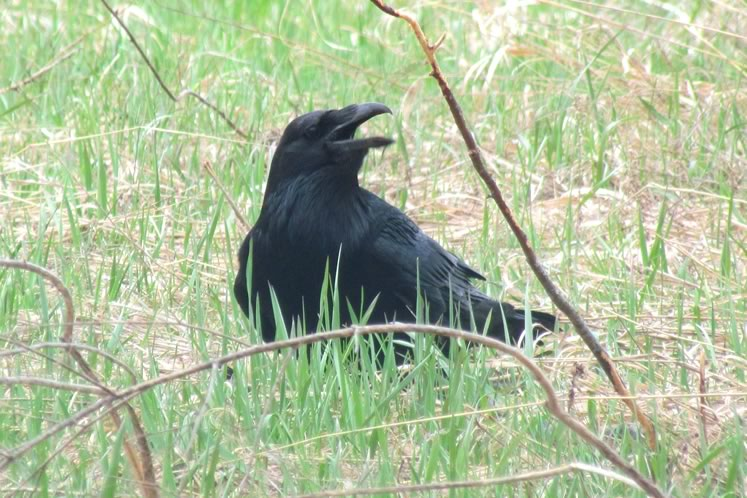 Raven in Caledon. Photo by Don Scallen.