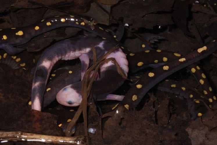 Piebald salamander C 2011