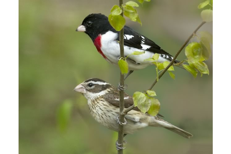 Rose-breasted grosbeaks1