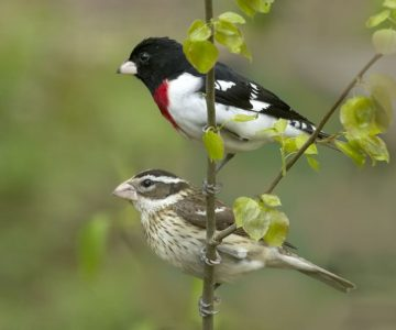 Male and female rose-breasted grosbeak. Photo by Fiona Reid.