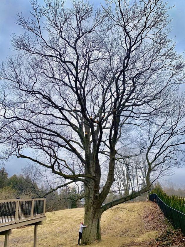 Mark Stevenson and his giant red oak in Orangeville.