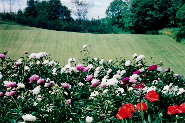 Peonies planted by Harry Lay's father