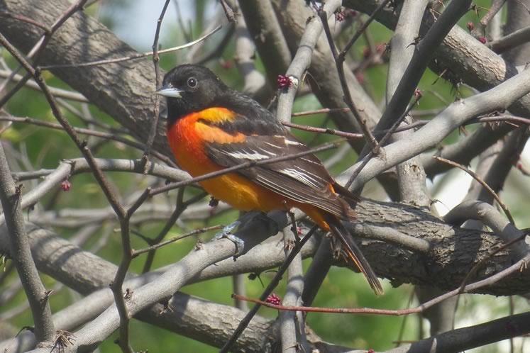 oriole two
