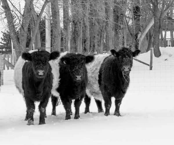 Skye Line Farms - Belted Galloway Cattle and Sheep