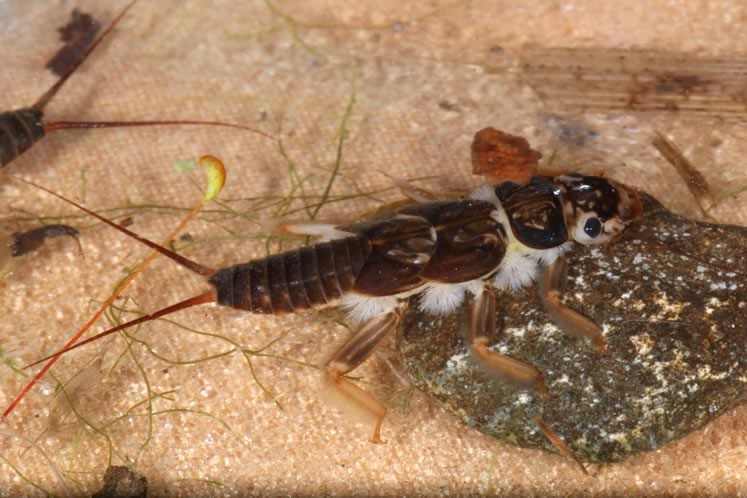 Common stonefly from the Credit River in Alton. Photo by Don Scallen.