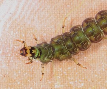 Freeliving caddisfly larva from the Credit River in Alton. Photo by Don Scallen.