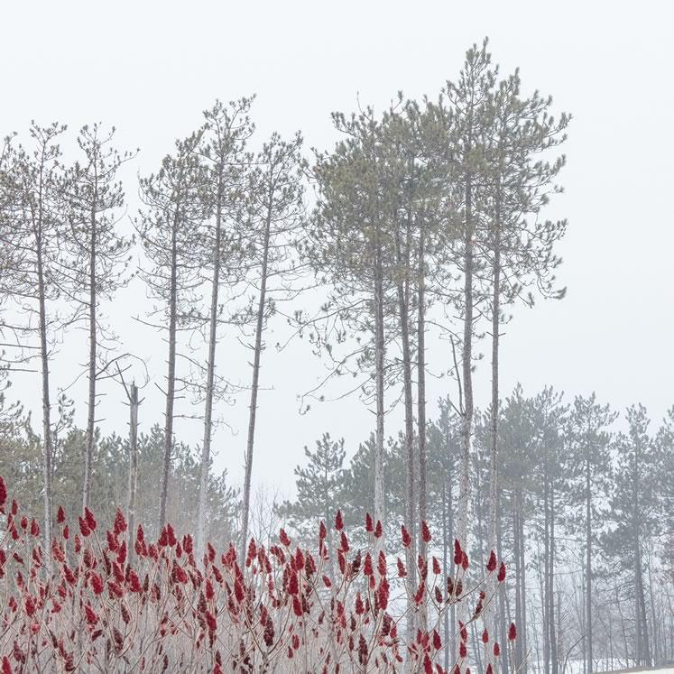 "Peter Dušek~ Red Sumac28"" x 28""photograph, archival pigment print"