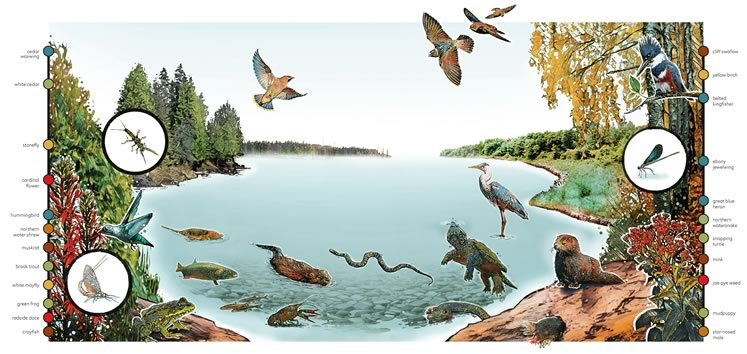 The Credit, the Humber, the Grand, the Nottawasaga — the four rivers that have their source in our hills are home to a lively community of creatures that forms a complex, interdependent web of life. Click for larger image. Illustration by Anthony Jenkins.