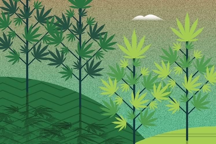 grow your own legal cannabis