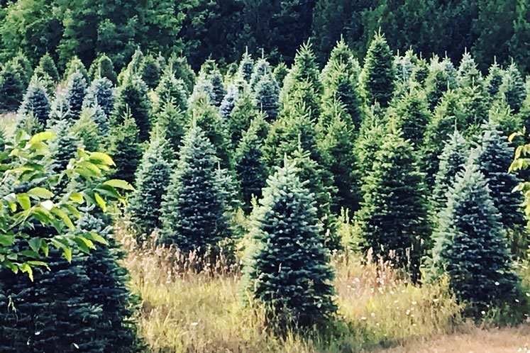 A view of future Christmas trees at Hockley Valley Farm. Courtesy of Hockley Valley Farm.