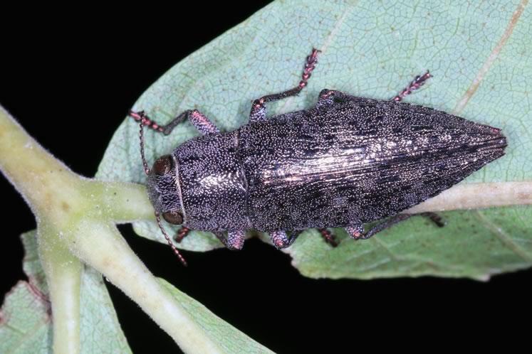 A borer beetle