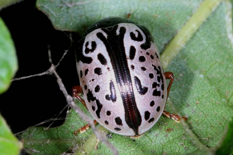 caligraphic beetle