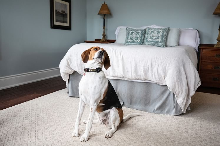 Luna, the couple's Walker hound cross, in the pale blue principal bedroom. Photo by Erin Fitzgibbon.
