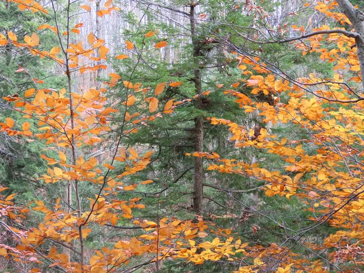 Beech and hemlock often grow together on moist woodland sites, making a lovely combination.