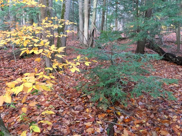 A walk in the woods can reveal the lovely juxtaposition of beech and hemlock trees.