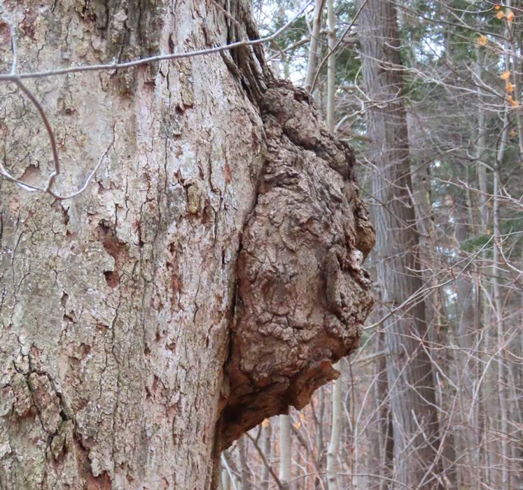 Burls are much sought after by woodworkers. Photo by Don Scallen.